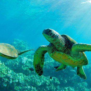Macora Grüne Meeresschildkröte