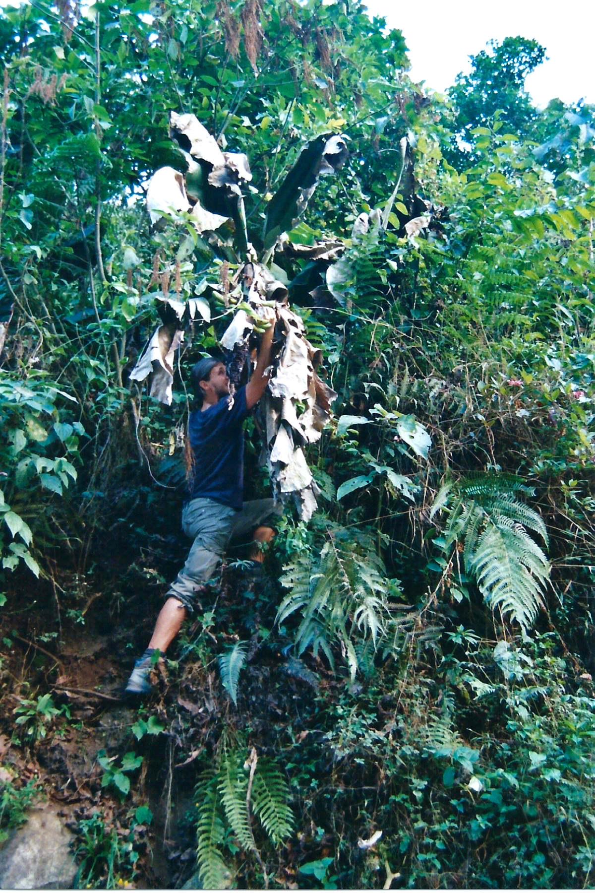 Bananen direkt vom Baum