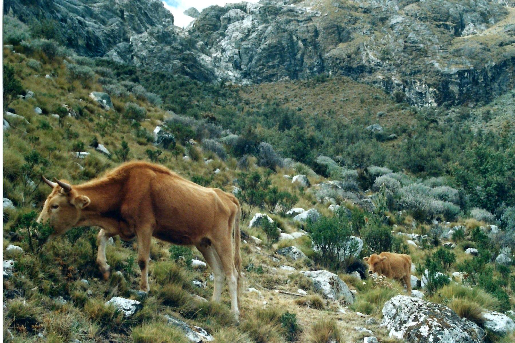 Auch wilde Kühe kreuzen unseren Weg.