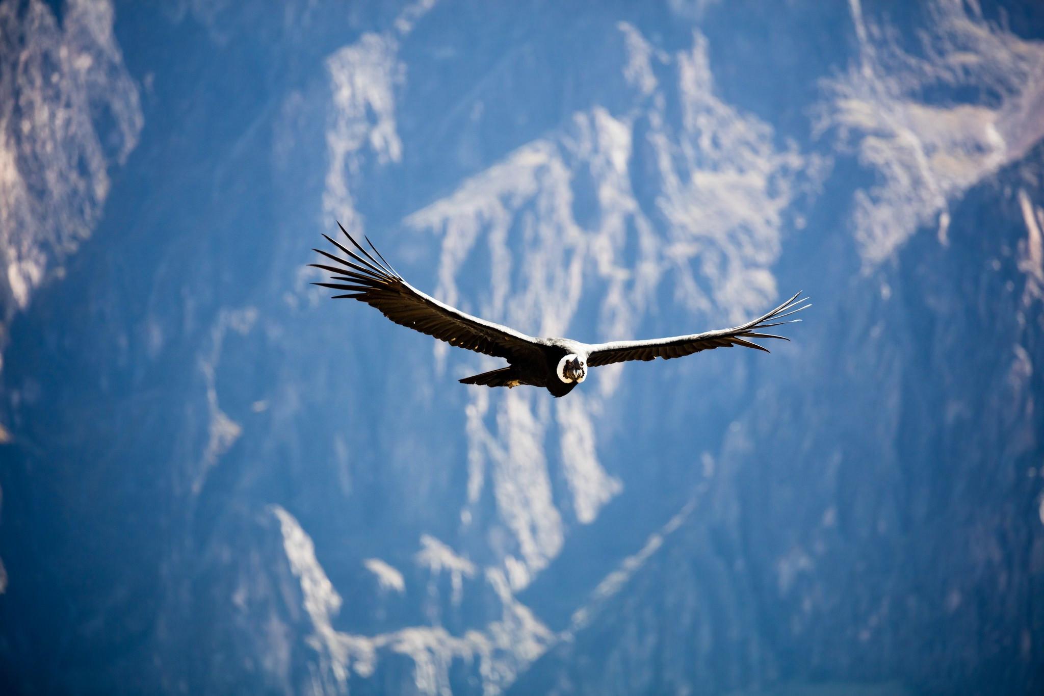 ... den majestätischen Andenkondor