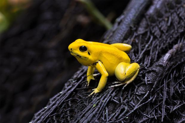 gelber Pfeilgiftfrosch